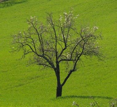 Una quercia svetta sul grano verde smeraldo. Foto di Andrea Mangoni.