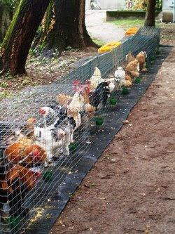 I polli nelle loro gabbie allineate.