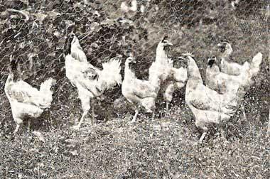 Gruppo di Padovana Pesante, razza autoctona del padovano il cui allevamento venne abbandonato dal Pollaio Provinciale