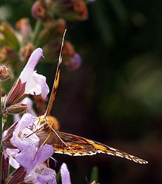 Vanessa cardui si nutre su una salvia in fiore. Foto di Andrea Mangoni.