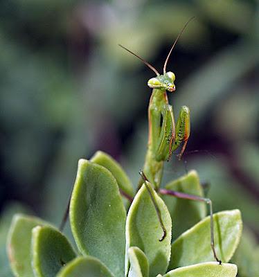 Ninfa verde di Mantis religiosa. Foto di Andrea Mangoni.