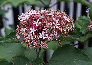 Fiore di clerodendro. Foto di Andrea Mangoni.