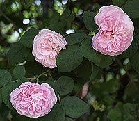 Rose antiche. Foto di Andrea Mangoni.