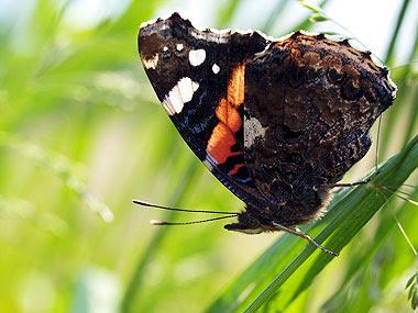 Il delicato arazzo della facciata posteriore delle ali della Vanessa atalanta. Foto di Andrea Mangoni.