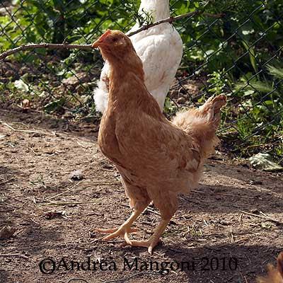 Giovane gallina di razza Boffa. Foto di Andrea Mangoni.