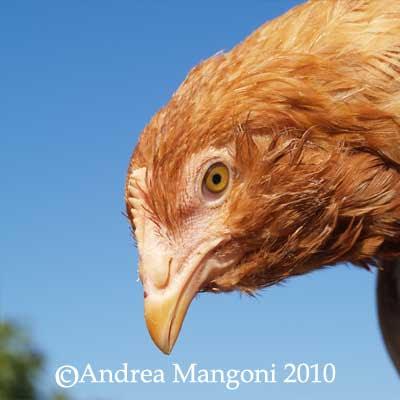 Pollastra di razza Boffa. Foto di Andrea Mangoni.