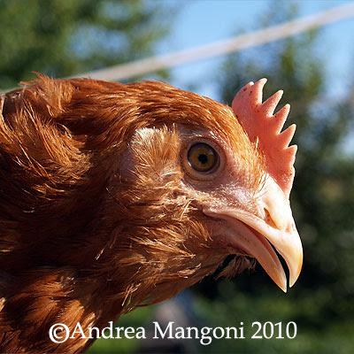 Pollo di razza Boffa. Foto di Andrea Mangoni.