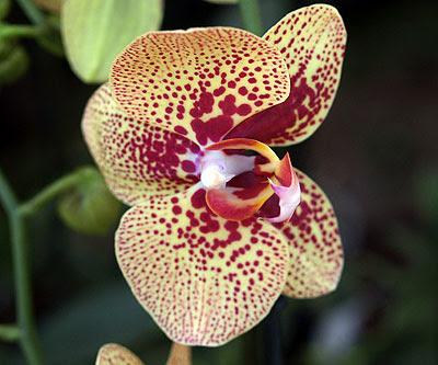 Un'orchidea tropicale. Foto di Andrea Mangoni.