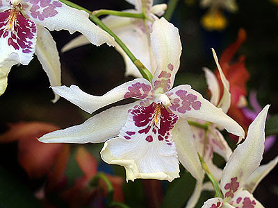 Un'orchidea tropicale, Laeliocattleya Elisabeth Fulton 'Michel'. Foto di Andrea Mangoni.