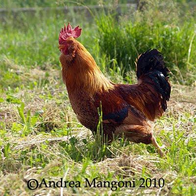 Gallo di Boffa. Foto di Andrea Mangoni.