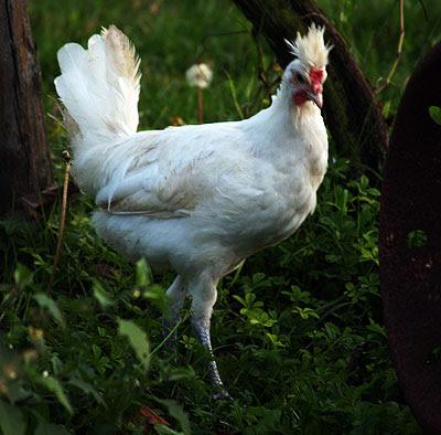 Giovane gallo di Polverara. Foto di Andrea Mangoni.