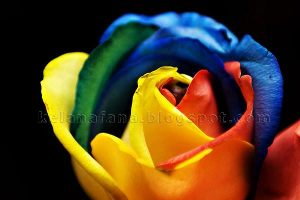 Sebuah syarikat penjual bunga ros, Interrose membawa masuk bunga ...
