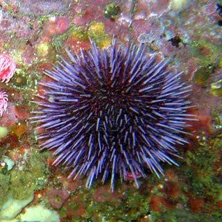 Eye Candy - Page 2 Purple-sea-urchin