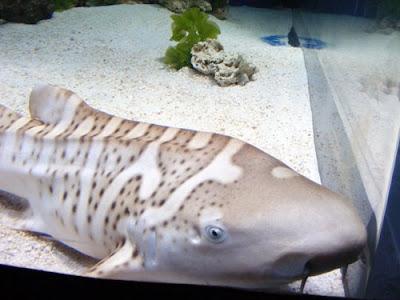 http://3.bp.blogspot.com/_l8inLnY9dr4/SIzYfAHMpoI/AAAAAAAAAIY/yFkIjjwH4TA/s400/Zebra-Shark.jpg
