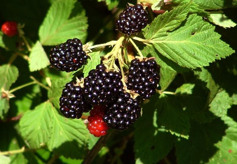 Power Meals Fresh Blackberries