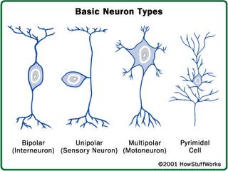 Biolog 237 A Y Geolog 237 A 3 186 Eso Resumen Tema 5 Sistema Nervioso