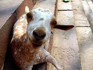 A goat at Fatehpur Sikri
