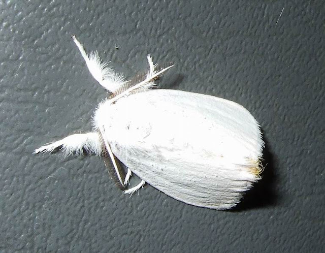 White Satin Moth