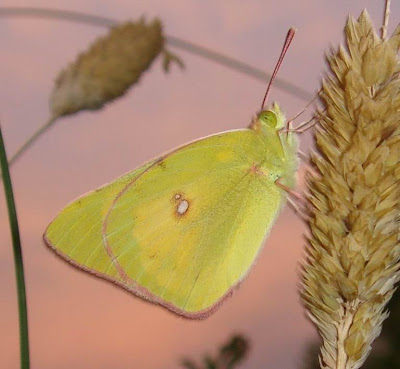 Harford's Sulphur Butterfly Picture