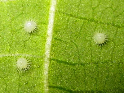 Common Castor Butterfly Eggs Picture