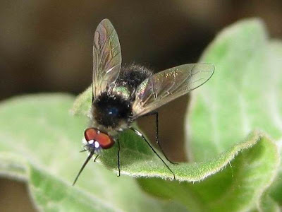 Bee Fly Picture
