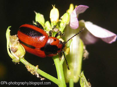 Red turnip beetle