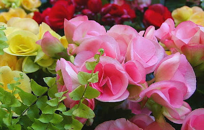 Cultivar begonias
