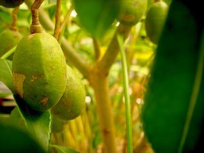 """""""buah,kedondong"""""""