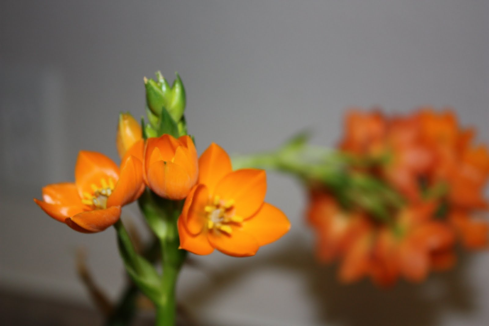 Jackie Sues Hobbies Orange Star Flower