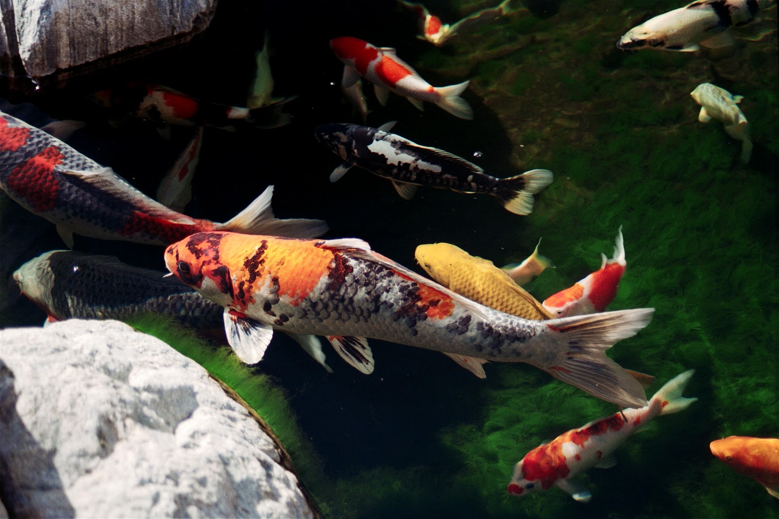 Wallpaper japanese carp wallpaper for Wild koi fish