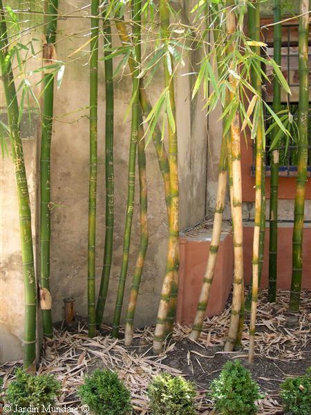 Club bellas artes malaga los loring y la verdad de la - Bambu para jardin ...