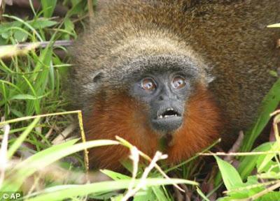 Monyet Amazon - Callicebus Caquetensis
