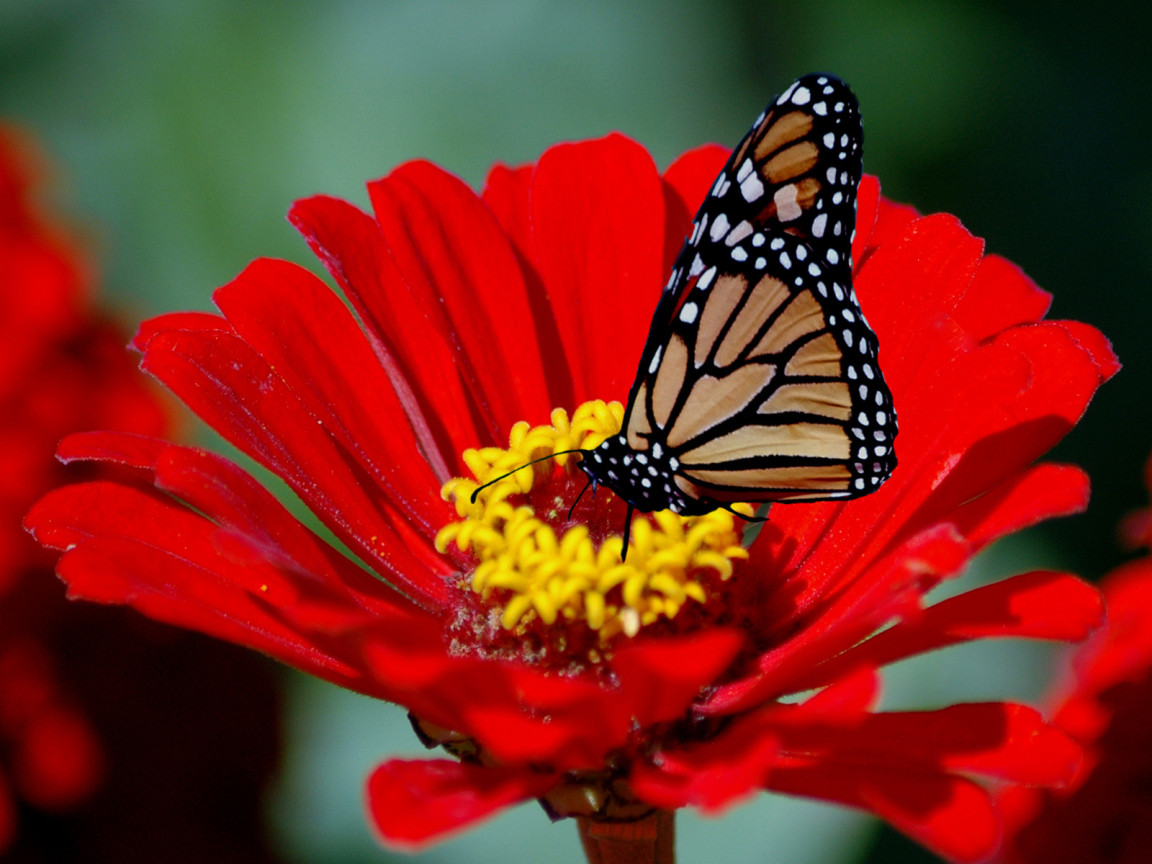 Cute little wings red sunflower with butterfly for Butterfly on flowers