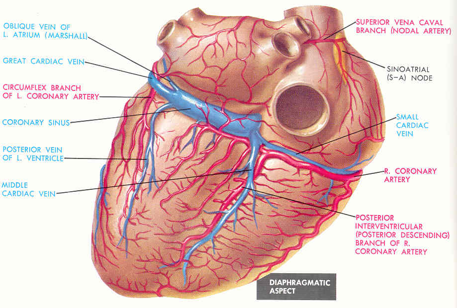 Heart anatomy arteries