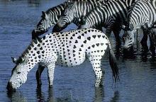 Zebra coeur