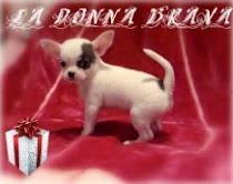 Pon un Chihuahua en tu vida