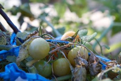 tomaatteja ja kastetta