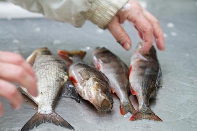 ahven, kalastus