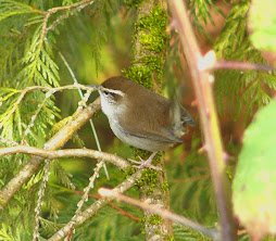 Bewick&#39;s Wren