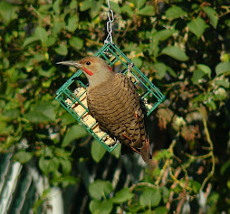 Red/Yellow Shafted Flicker Hybrid