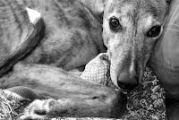Girly Girl greyhound black and white