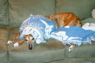 Girly Girl greyhound naps on the couch