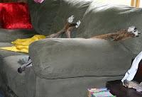 Girly Girl greyhound couch usurper