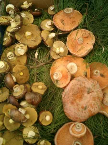 how to cook slippery jack mushrooms