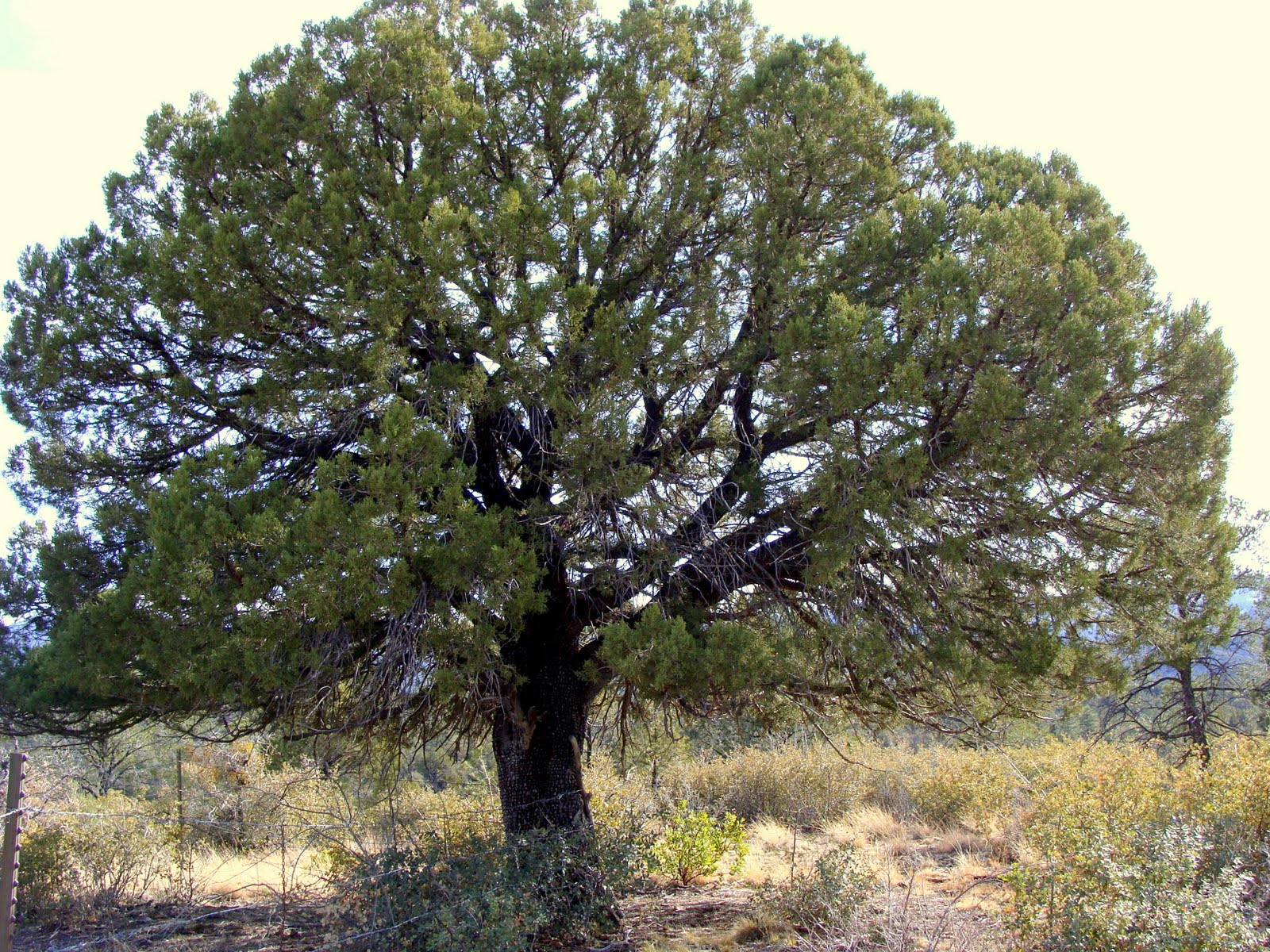 the juniper tree What's a mother to do she decapitates the boy with the heavy metal lid of an apple chest.