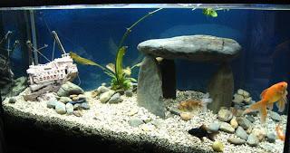 Acquariofilia i miei pesci rossi for Pesci rossi piccoli