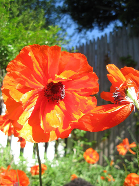 Poppies-in-May