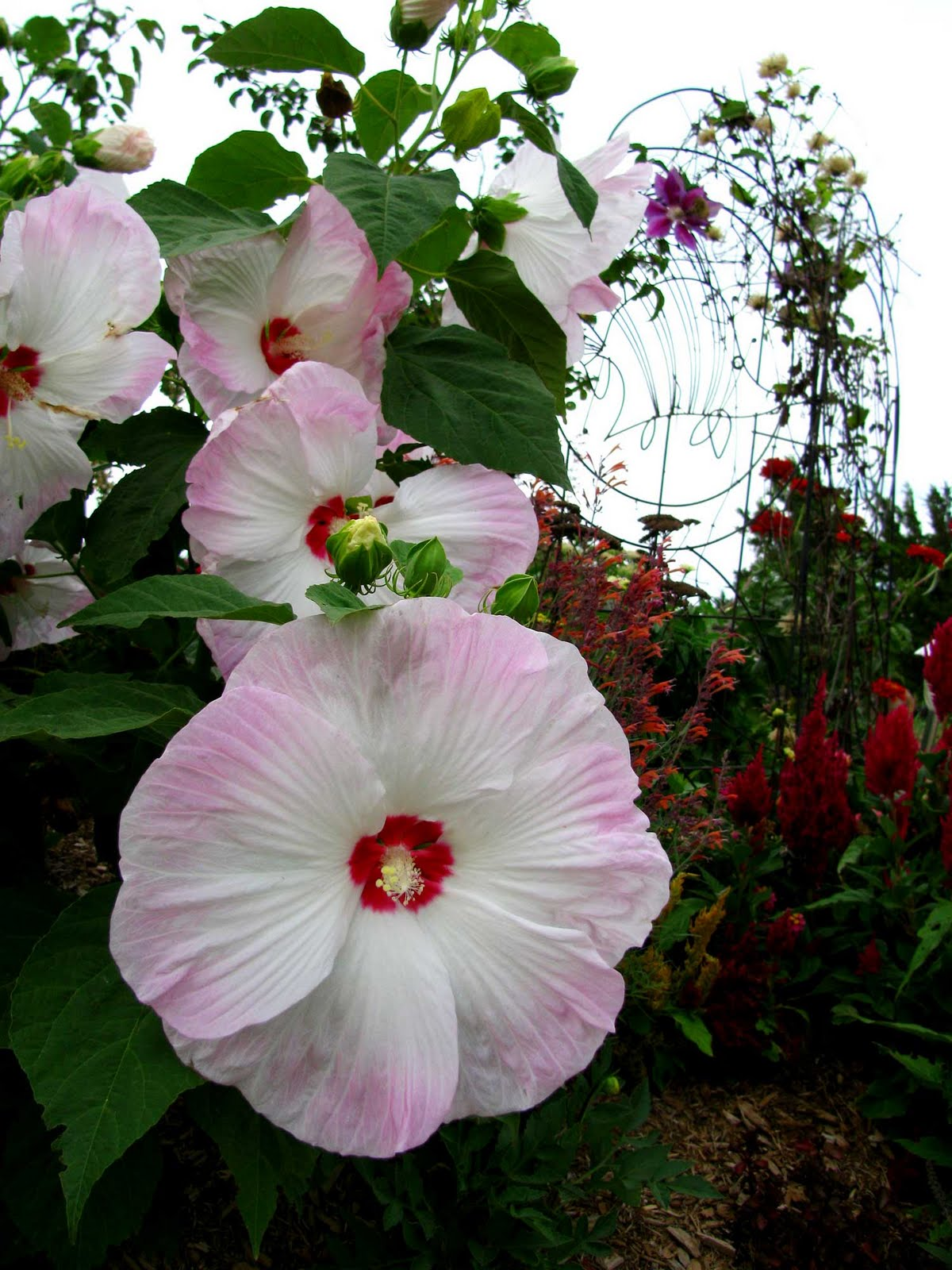Dinner-Plate-Sized-Flowers-at-Block-IslandRI & flowers the size of dinner plates ~ Long Island Daily Photo | Lily ...
