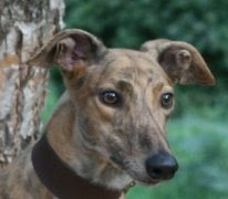 Southeastern Greyhound Adoption