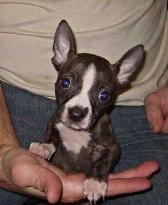 boston terrier chihuahua mix temperament